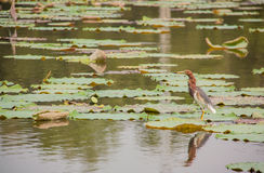 Chinese Pond Heron (Ardeola bacchus) and lotus pond. Royalty Free Stock Image