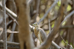 Chinese Pond Heron Ardeola bacchus. Stock Images