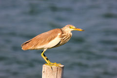 Chinese Pond Heron Ardeola bacchus Royalty Free Stock Photos