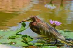Chinese Pond Heron (Ardeola bacchus). And purple water lily Royalty Free Stock Photos