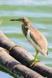 Chinese Pond Heron Ardeola bacchus. Stock Photo
