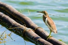 Chinese Pond Heron Ardeola bacchus. Royalty Free Stock Image