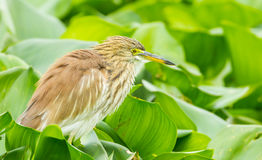 Chinese Pond Heron Royalty Free Stock Photos
