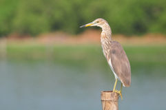 Chinese Pond Heron (Ardeola bacchus) Stock Images