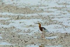 Chinese Pond Heron Ardeola bacchus. Royalty Free Stock Photos