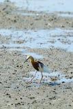 Chinese Pond Heron Ardeola bacchus. Royalty Free Stock Images