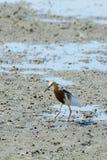 Chinese Pond Heron Ardeola bacchus. Stock Photography