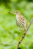 Chinese Pond Heron Stock Photography