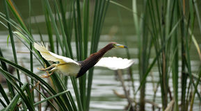 Chinese Pond-Heron Stock Images