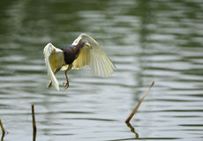 Chinese Pond-Heron Royalty Free Stock Photography