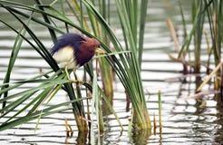 Chinese Pond-Heron Stock Image