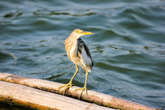 Chinese Pond Heron. Bird of Thailand Royalty Free Stock Image