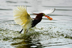 Chinese Pond-Heron Catch redfish Stock Photography