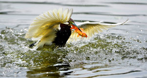 Chinese Pond-Heron Catch redfish Stock Photos