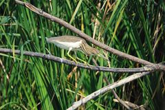 Chinese Pond Heron Royalty Free Stock Photography
