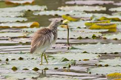Chinese Pond Heron Royalty Free Stock Image