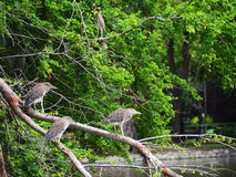 CHINESE POND HERON Royalty Free Stock Images