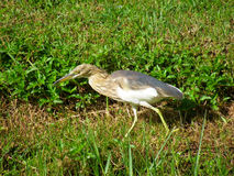 Chinese Pond Heron. On grass Stock Images