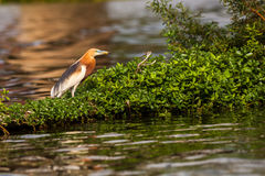 Chinese Pond Heron Royalty Free Stock Image