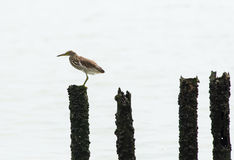 Chinese Pond Heron Stock Photo