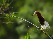 Chinese Pond Heron. The Chinese Pond Heron is looking Royalty Free Stock Photos