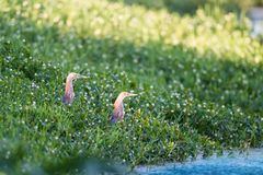 Chinese pond heron in the grass. Chinese pond heron looking around in the grass stock image