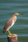 Chinese Pond Heron  in the nature. Royalty Free Stock Photos