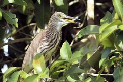 Chinese pond heron perches looking for food stock photography