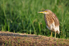 Chinese Pond Heron standing on grass floor, Stock Image