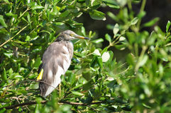 Chinese Pond Heron standing on grass floor, Thailand Stock Photo