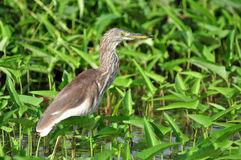 Chinese Pond Heron standing in the pond Royalty Free Stock Photo