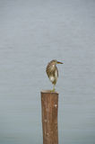 Chinese Pond Heron standing on the post Stock Photography