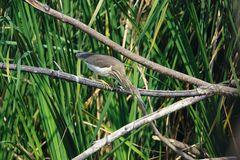 Chinese Pond Heron. A Chinese Pond Heron stands on branch in rushes and prepars for fishing. Scientific name: Chinese Pond Heron Stock Photos