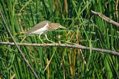 Chinese Pond Heron. A Chinese Pond Heron stands on branch in rushes and prepars for fishing. Scientific name: Chinese Pond Heron Royalty Free Stock Images