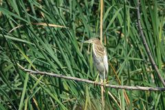Chinese Pond Heron. A Chinese Pond Heron stands on branch in rushes. Scientific name: Chinese Pond Heron Royalty Free Stock Photos