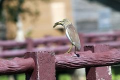 Chinese pond heron at the thale noi wetlands reserve stock photo