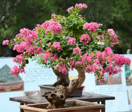 Chinese potted flower. The beautiful Chinese potted flower Stock Photography