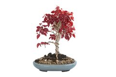 Chinese privet bonsai in autumn colors