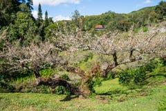 Chinese pruim, Japanse abrikoos, mooie de bloem van de Boombloei royalty-vrije stock afbeeldingen