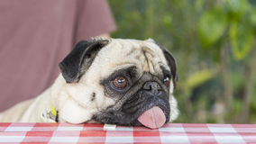 Chinese pug dog Royalty Free Stock Photo