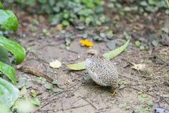 Chinese quail, chinensis excalfactoria Royalty Free Stock Photos