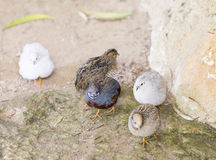 Chinese quail, chinensis excalfactoria Royalty Free Stock Photos