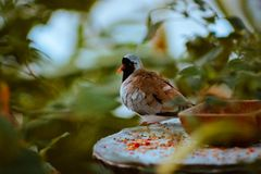 Chinese quail perched on a feeding station in the tropical gardens in the Fredrik meijer gardens stock photography