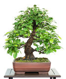 Chinese Quince As Bonsai Tree Stock Image