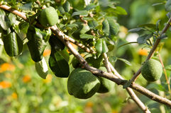 Chinese quince fruits (Chaenomeles speciosa). Chinese quince fruits on tree (Chaenomeles speciosa), selective focus royalty free stock photos