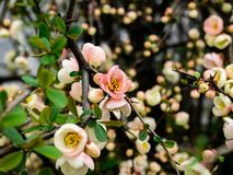 Chinese Quince Tree In Bloom 3 Stock Photo