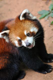 A Chinese red Panda Royalty Free Stock Photo