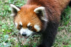 Chinese red Panda Royalty Free Stock Photography