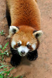 Chinese red panda. A Chinse red penda, with beautiful face and ear, is precious wild animal lives in South west of China Royalty Free Stock Photos