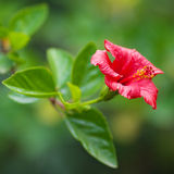 Chinese red rose. On a green tree royalty free stock photos